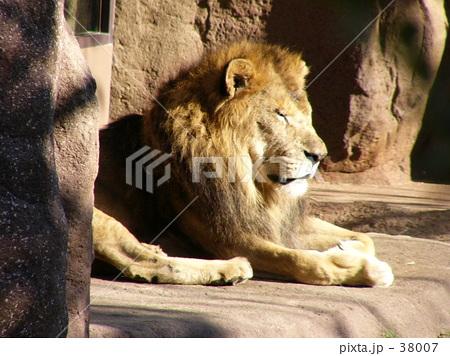 ライオン♂