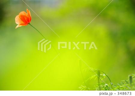 ヒナゲシの画像 p1_9