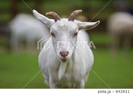 ヤギの画像 p1_9