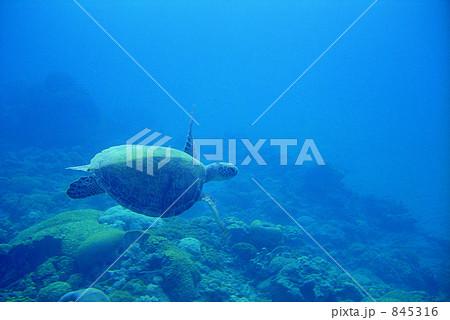 アオウミガメの画像 p1_15