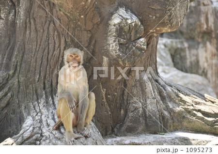 アカゲザルの画像 p1_33
