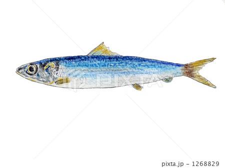 1268829 ウルメイワシ 潤目鰯 海水魚のイラスト素材 [1268829] - PIXTA