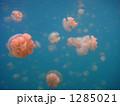 パラオのタコクラゲ