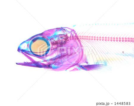サケの画像 p1_37