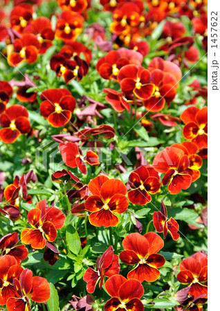 ビオラ (植物)の画像 p1_23