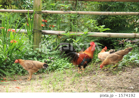 鸡肉 鸟 本地土鸡-图片素材 [1574192] - pixta