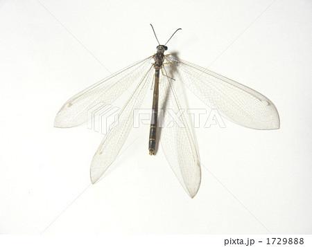 ウスバカゲロウの画像 p1_10