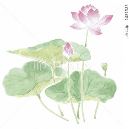 木槿 荷花叶 印度莲花-插图图库 [1821588] - pixta