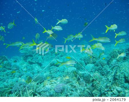 魚の群れ 魚類 回遊魚  魚の群れ 魚類 回遊魚 ギンガメアジ   回遊魚の写真・イラスト素材