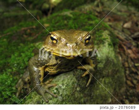 ニホンヒキガエルの画像 p1_12