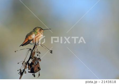 ハチドリの画像 p1_1