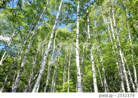 新緑の白樺林 2552379 新緑の白樺林の写真素材 [2552379] - PIXTA