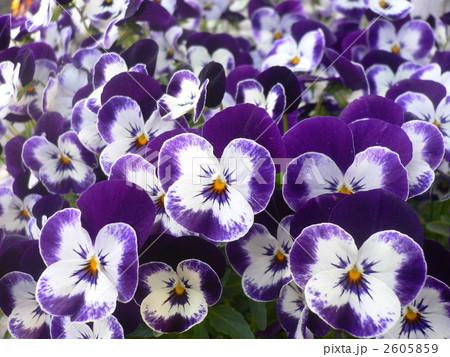 ビオラ (植物)の画像 p1_8