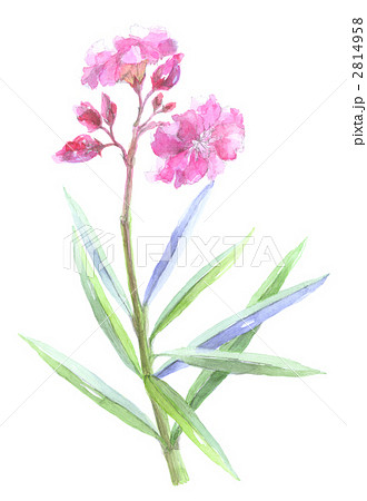 キョウチクトウの画像 p1_37