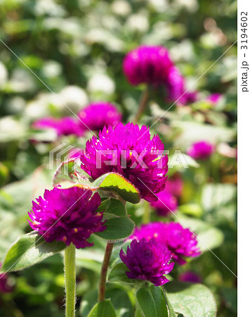 センニチコウの画像 p1_24