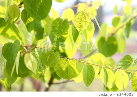 假发 鲜绿 银杏叶-图片素材