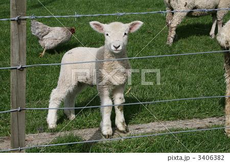 ラム (子羊)の画像 p1_5