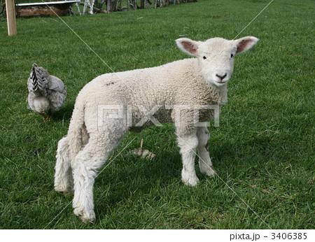 ラム (子羊)の画像 p1_16