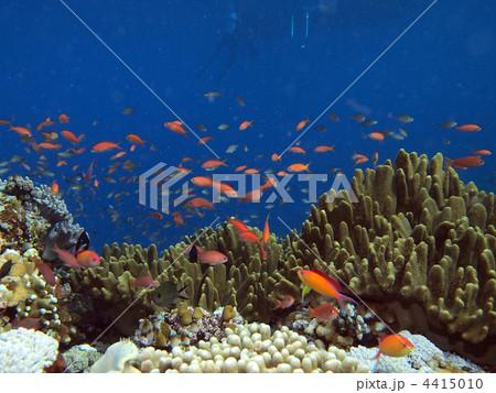 珊瑚礁 蓝色珊瑚 血鲷-图片素材 [4415010] - pixta