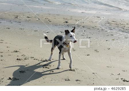 写真素材: ニュージーランドヘディングドッグ 犬 動物の写真