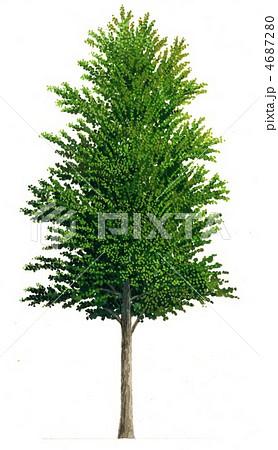 カツラ (植物)の画像 p1_10
