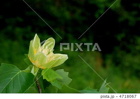 ユリノキの画像 p1_19