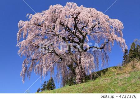 三春 芹沢の桜 4727376  三春 芹沢の桜  サムネイル表示に戻す 画質を確認 三春 芹沢