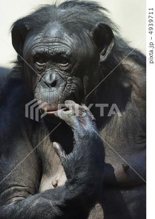 ボノボの画像 p1_25