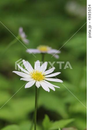 ミヤマヨメナの画像 p1_32