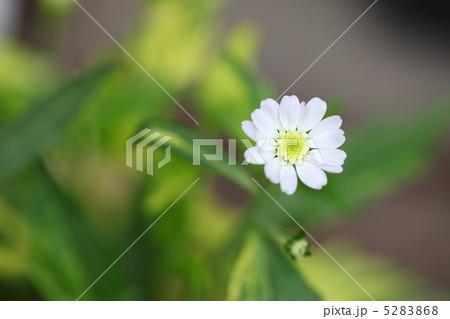 ミヤマヨメナの画像 p1_8