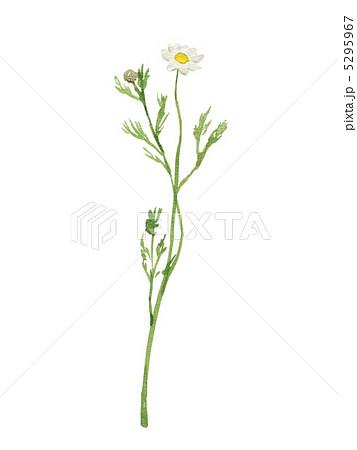 カモミールの画像 p1_13