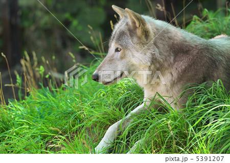 ニホンオオカミの画像 p1_13