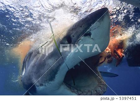 ホホジロザメの画像 p1_20