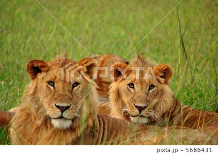 ... :サバンナ ライオン ケニア