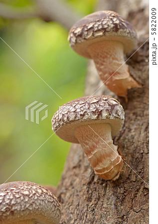 原木椎茸 5822009  原木椎茸  サムネイル表示に戻す 画質を確認 原木椎茸の写真素材 [