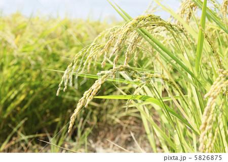 稲 5826875  稲  サムネイル表示に戻す 画質を確認 稲の写真素材 [5826875]