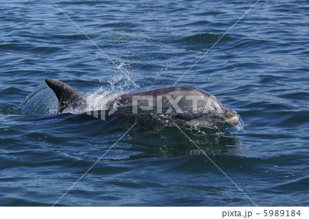 ハンドウイルカの画像 p1_19