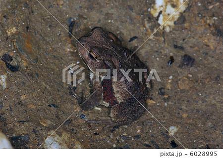 ニホンヒキガエルの画像 p1_31