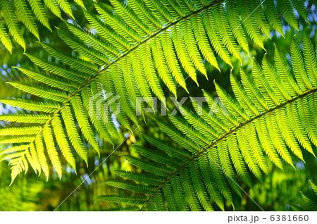 ヒカゲヘゴの画像 p1_18