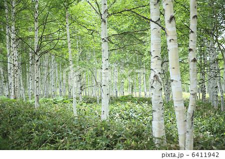 白樺林 6411942 白樺林の写真素材 [6411942] - PIXTA