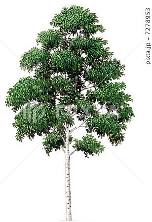 シラカバ(白樺)のスケッチ、精密植物画 7278... シラカバ(白樺)のスケッチ、精密植物画の