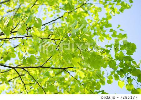 シナノキの画像 p1_25