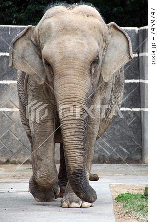 アジアゾウの画像 p1_4