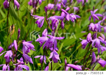 シラン (植物)の画像 p1_31