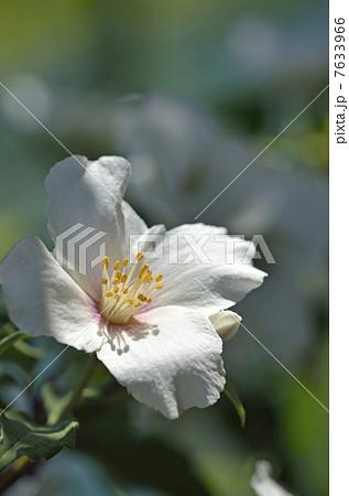 バイカウツギの画像 p1_6