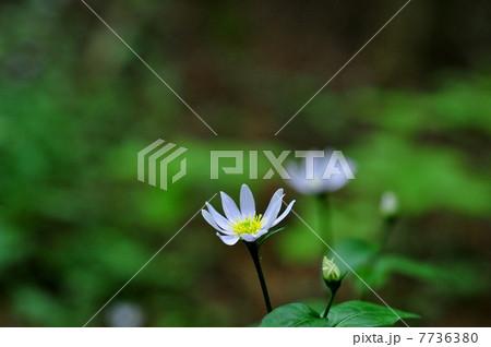 ミヤマヨメナの画像 p1_3