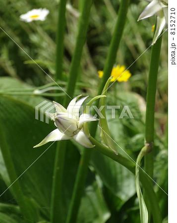 オオバギボウシの画像 p1_26