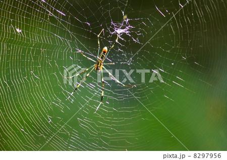ジョロウグモの画像 p1_4