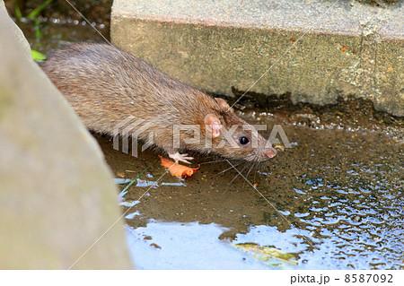 クマネズミの画像 p1_13