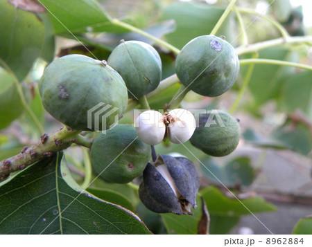 未熟な実と熟した実と蝋に包まれた種が見られるナンキンハゼ 8962884  未熟な実と熟した実と